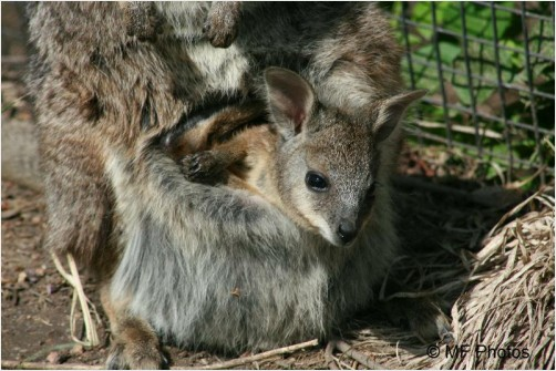 Baby Wallaby in Mother's Pouch 2